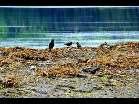 corbeaux et huîtriers aux becs rouges